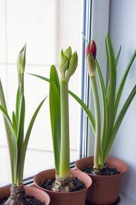 Three plants in the pot.