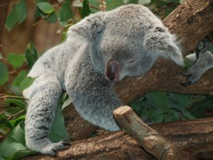 A koala sleeping on a branch