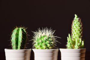 three cacti in pots