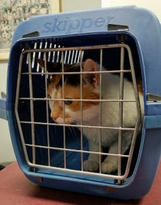 a white-yellow cat in a blue carrier - prepare your pet for relocation by putting them in the carrier early